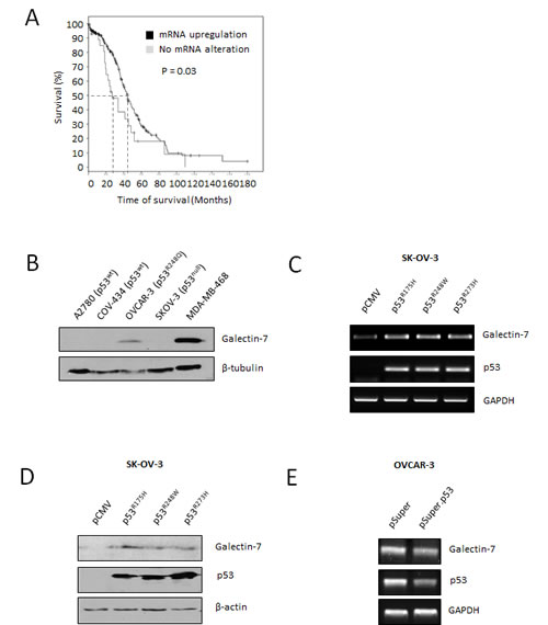 Gal-7 expression in EOC cells is associated to poor overall survival and is controlled by mutant forms of p53.