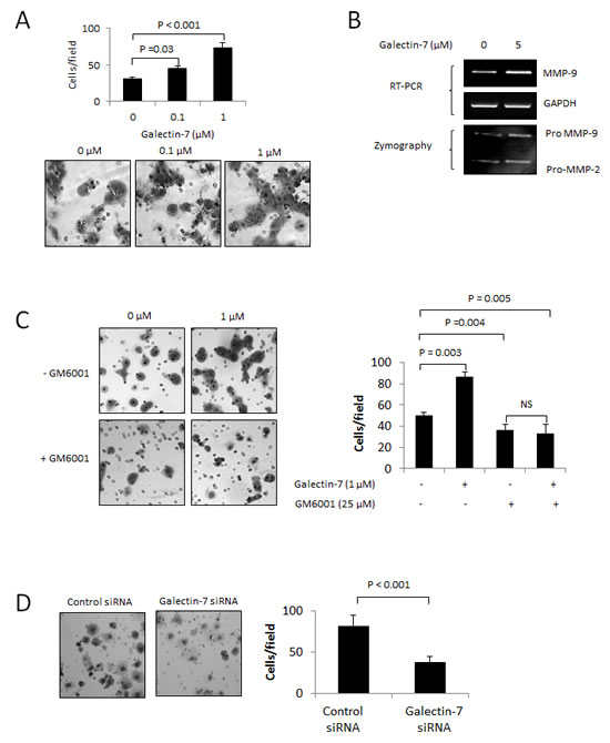 Gal-7 increases the invasive behavior of ovarian cancer cells.