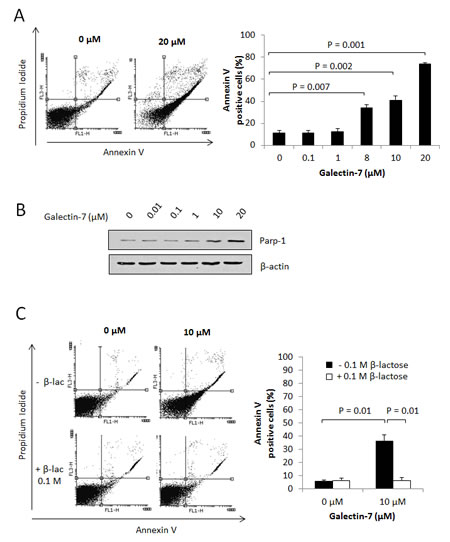 Gal-7 induces apoptosis of T cells.