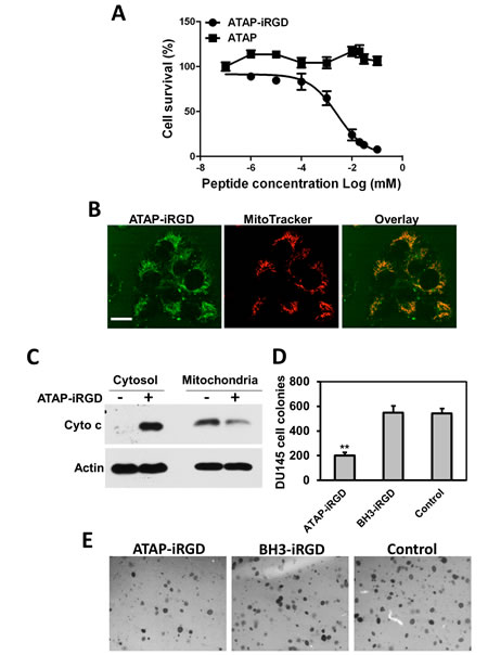 ATAP-iRGD targets mitochondria to cause apoptotic effects on tumor cells.