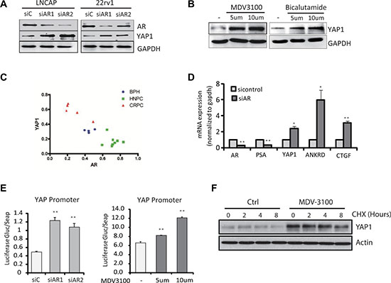 Androgen-AR signaling suppresses YAP1 gene expression.