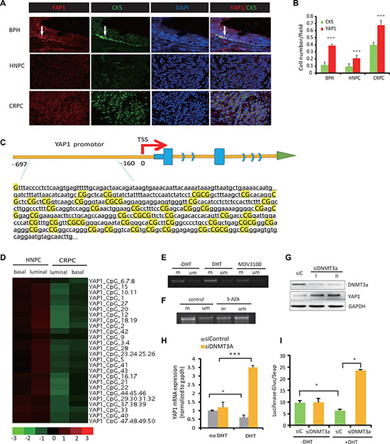 AR-mediated repression of YAP1 is associated with DNA methylation of the YAP1 promoter region.