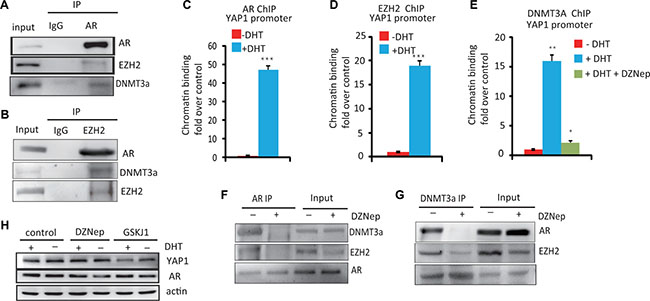 The essential role of the AR–DNMT3a and EZH2 complex in the regulation of YAP1 expression.