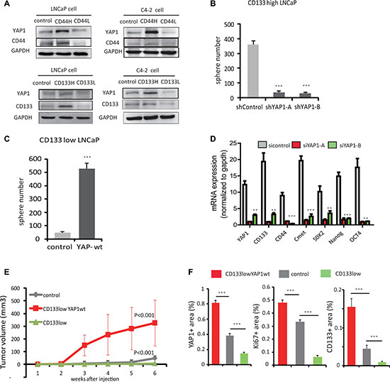 YAP1 is required to sustain self-renewal and dedifferentiation of prostate cancer cells