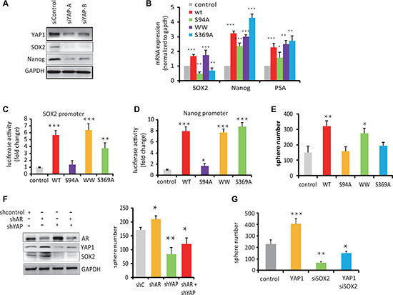 YAP1-mediated stem cell renewal depends on the TEAD-Interaction Domain of YAP1.