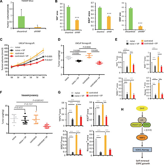 Blocking YAP1 signaling increases the effectiveness of ADT.