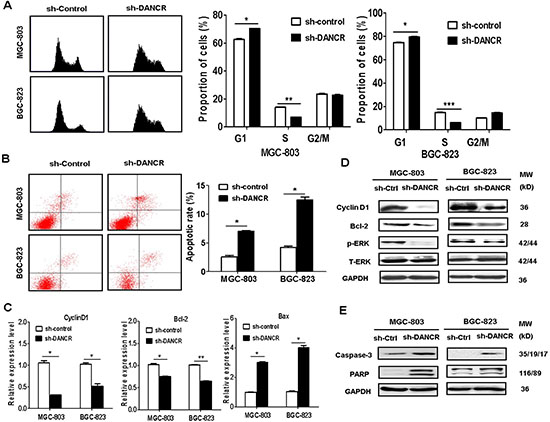 DANCR knockdown induces cell cycle arrest and cell apoptosis.