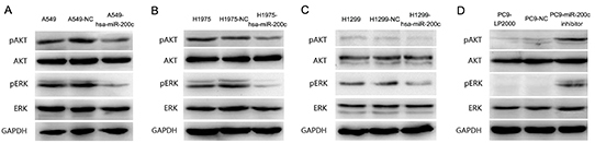 PI3K/AKT and MEK/ERK are two important signal pathways regulated by miR-200c.