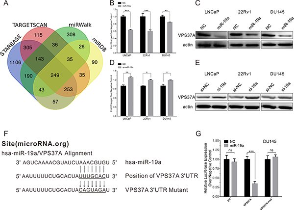 MiR-19a directly targets VPS37A in PCa cells.