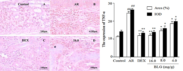 Effects of BLG on the expression of TNF-α in guinea pig nasal mucosa.