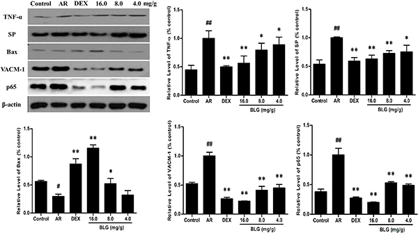 The protein levels of TNF-α, SP, Bax, VACM-1 and P56 in guinea pig nasal mucosa detected by western blot.