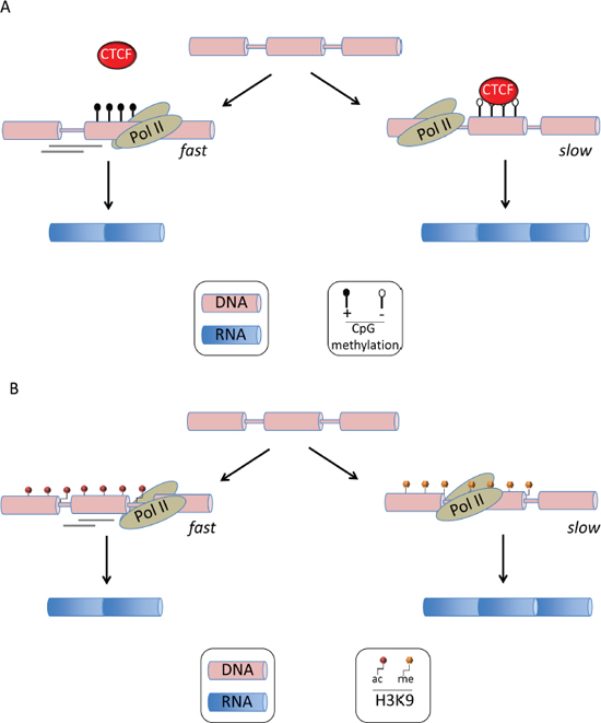 Epigenetic alterations in alternative mRNA splicing.