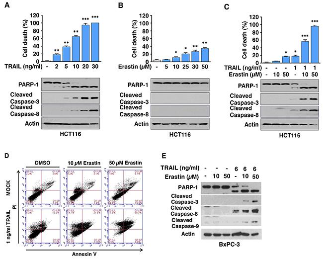 Erastin promotes TRAIL-induced apoptosis.