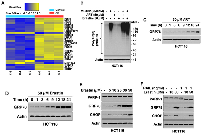 Ferroptotic agents induce ER stress in HCT116 cells.