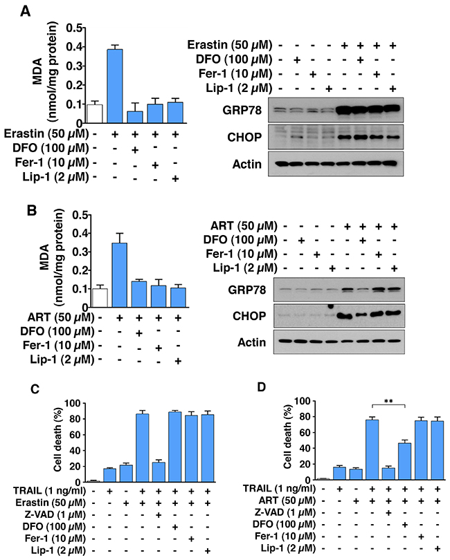The combinatorial treatment of ferroptotic agent and TRAIL promotes apoptosis via ER stress, but not lipid peroxidation in HCT116 cells.