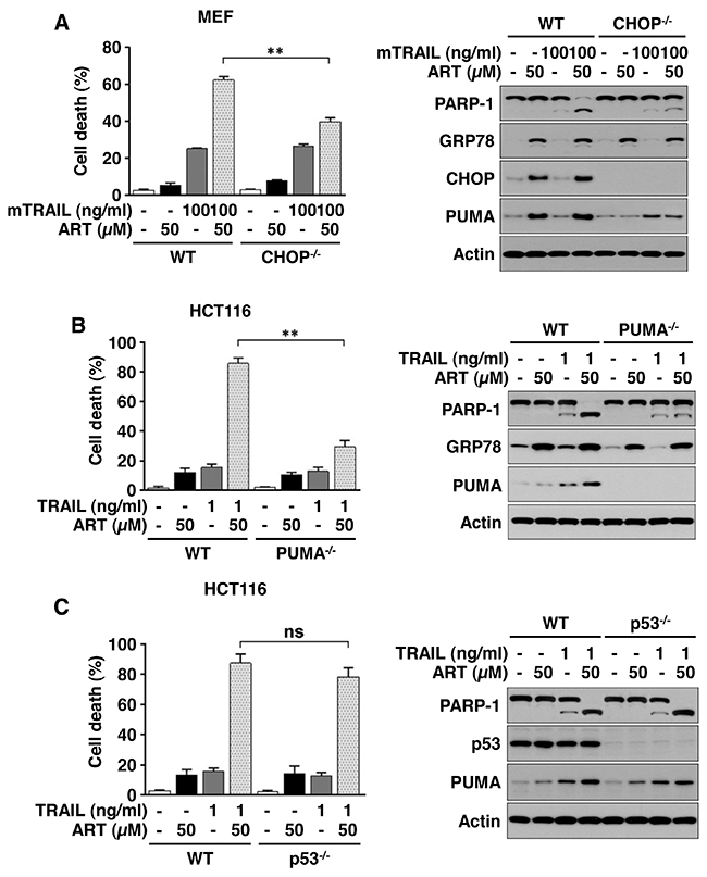 ART promotes TRAIL-induced apoptosis via the p53-independent CHOP/PUMA pathway.