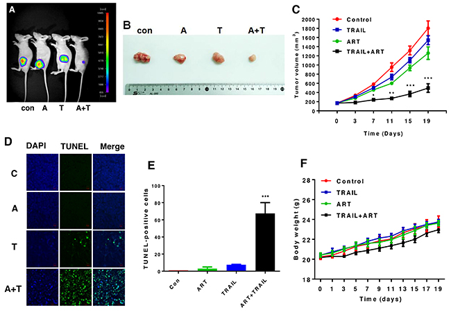 The combinatorial treatment of ART and TRAIL synergistically inhibits tumor growth.