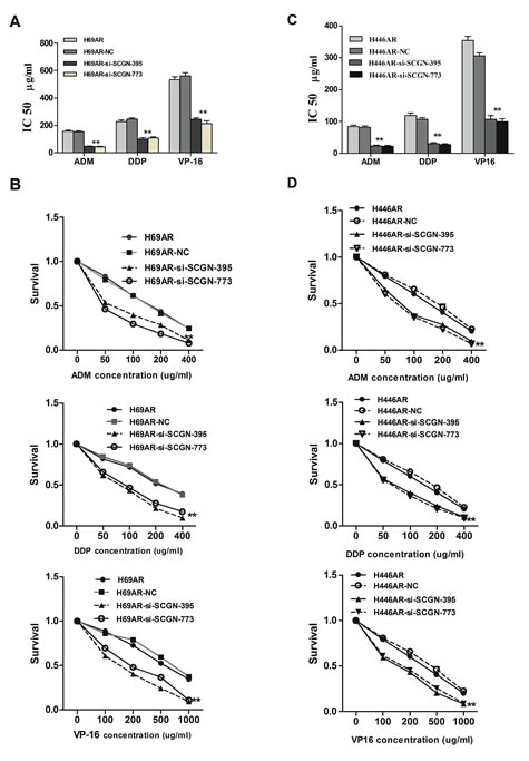 SCGN expression is associated with chemoresistance in SCLC.