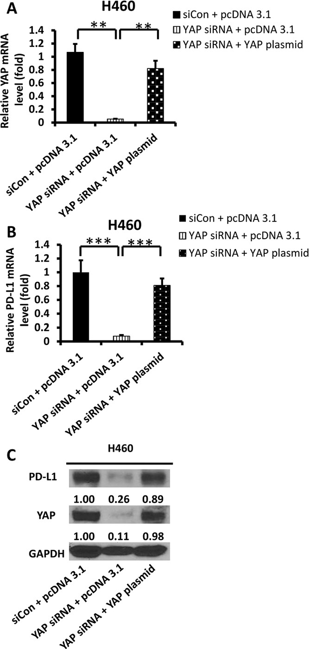 Expression of PD-L1 and YAP after YAP forced over-expression in siRNA-YAP H460 cells.