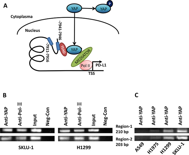 YAP regulates PD-L1 at the transcriptional level through binding to PD-L1 enhancer.