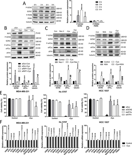 The GCN2-eIF2α-ATF4 pathway is involved in cystine-starvation-induced cell death.