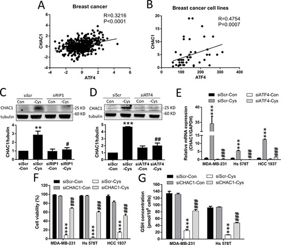 Cystine starvation induces CHAC1 expression and GSH degradation.