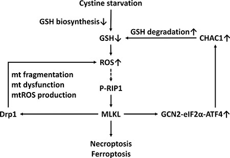 A scheme of the mechanism of CHAC1 degradation of glutathione enhancing cystine-starvation-induced necroptosis and ferroptosis in human triple negative breast cancer cells via the GCN2-eIF2α-ATF4 pathway.