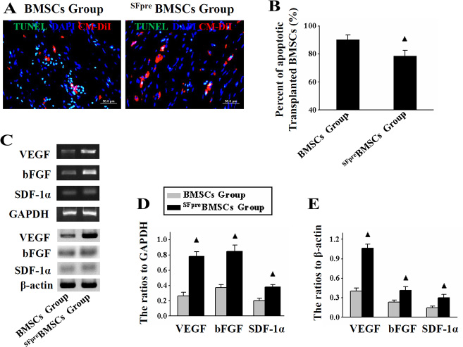 Analysis of apoptosis and paracrine functions of the implanted BMSCs.