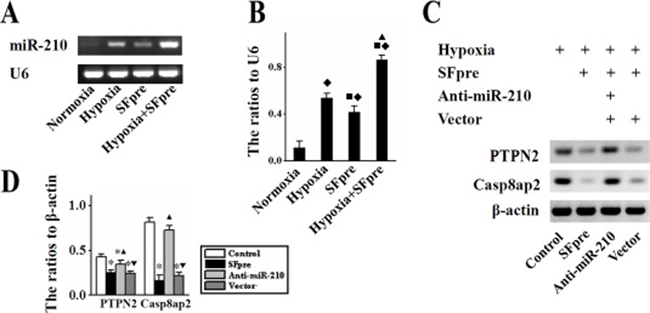 The in vitro expression of miR-210, Casp8ap2 and PTPN2 in BMSCs.