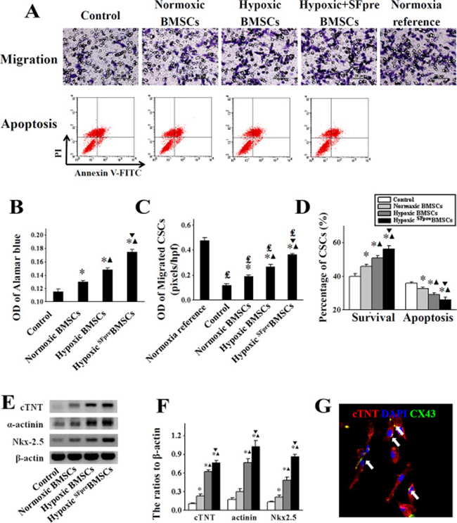 The in vitro evaluation of CSCs activation induced by BMSCs.