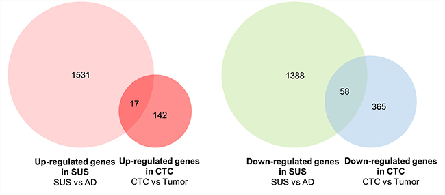 Venn diagram showing comparison of up- and down-regulated genes between MDA-MB-468 suspension cells and CTCs vs primary breast tumors.