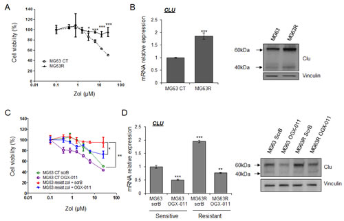 CLU induced by ZOL treatment protects tumor cells and leads to ZOL resistance.