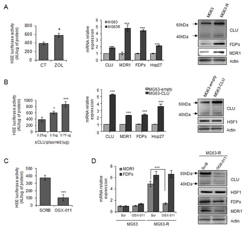 Clusterin protects tumor cells from ZOL-induced effects via a regulation of HSF1 activity and MDR1 expression.