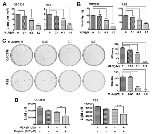 Effects of neddylation inactivation on the growth of cholangiocarcinoma cells.