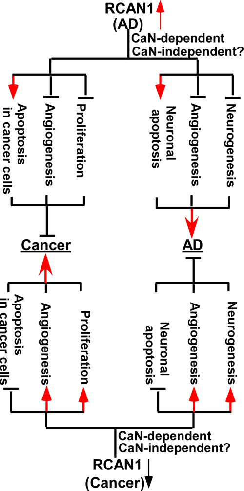 Mechanisms of RCAN1 in the inverse association between of Alzheimer's disease and cancer.