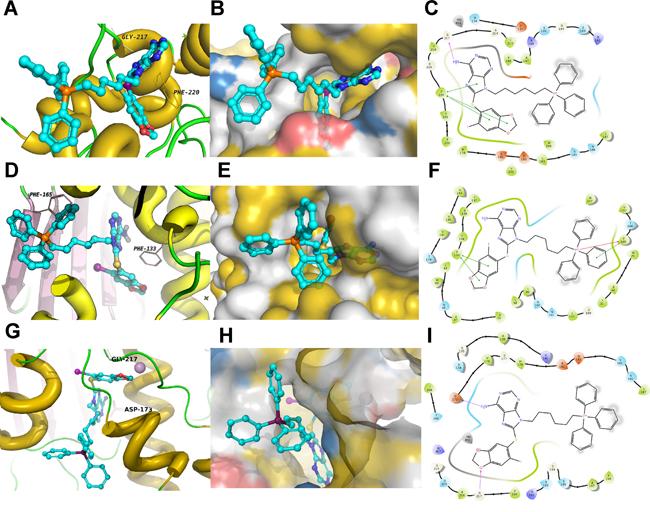 Predicted model of PU-H71-TPP (H71-TPP-2) target binding.