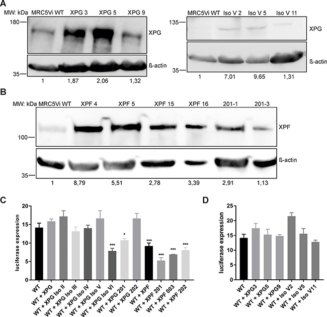 Oncotarget | Splice variants of the endonucleases XPF and XPG