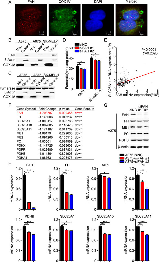 FAH expression modulates TCA cycle enzyme and transport activity.