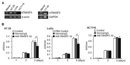 Expression of TM4SF5 in colon cancer cells and the effect of anti-TM4SF5 antibody on the growth of colon cancer cells.