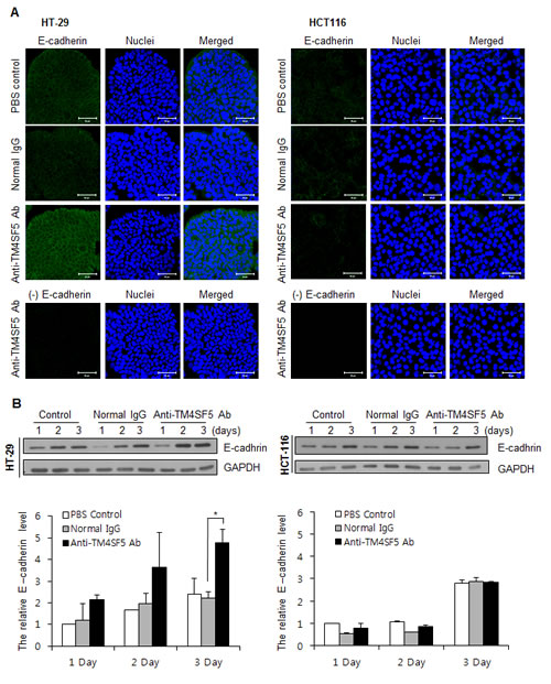 Enhanced expression of E-cadherin in TM4SF5 expressing cells after treatment with anti-TM4SF5 antibody.