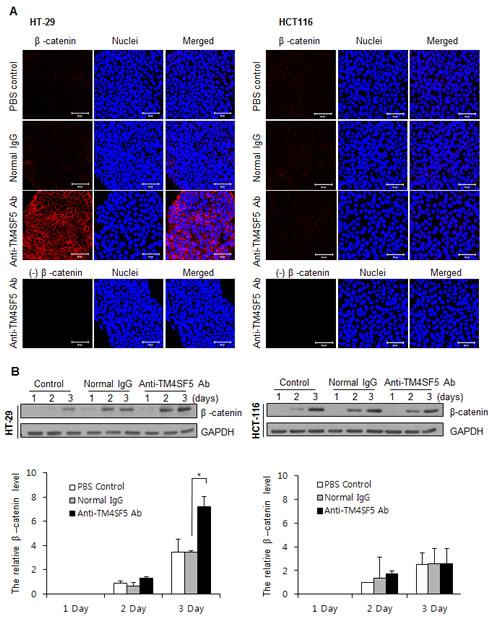 Enhanced expression of β-catenin in TM4SF5 expressing cells after treatment with anti-TM4SF5 antibody.