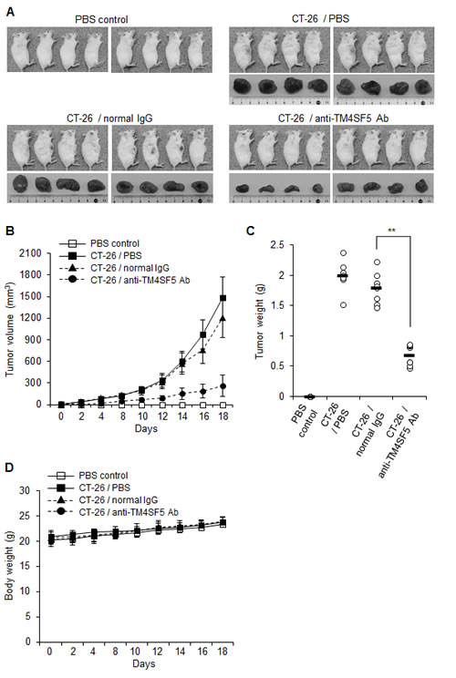 Therapeutic efficacy of the anti-TM4SF5 monoclonal antibody against colon tumor growth in an allograft mouse model.
