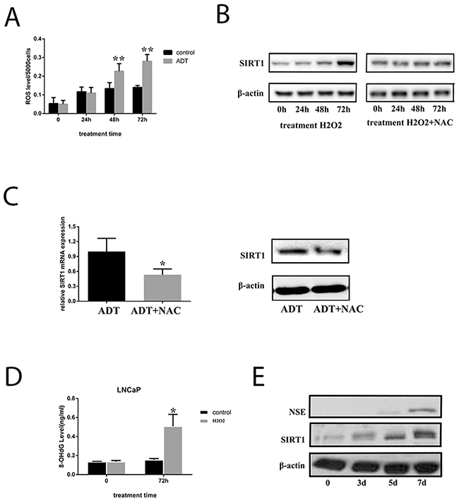 ADT increased SIRT1 expression by inducing ROS levels in LNCaP cells.