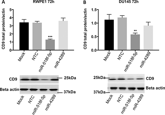 miR-518f-5p decreases CD9 protein levels in RWPE1 and DU145 prostate cells.