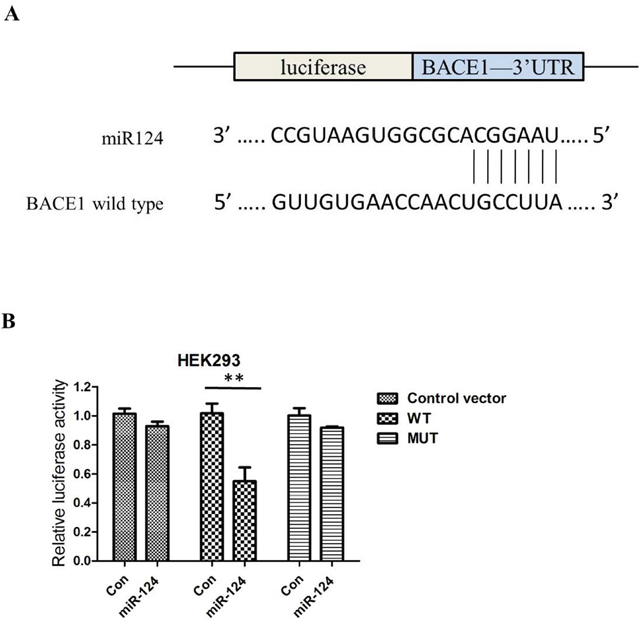 BACE1 is one of the candidates because miR-124 includes its potential binding sequences of the BACE1 mRNA 3′-UTR; miR-124 regulates BACE1 expression by directly binding to the 3′-UTR of BACE1 mRNA.