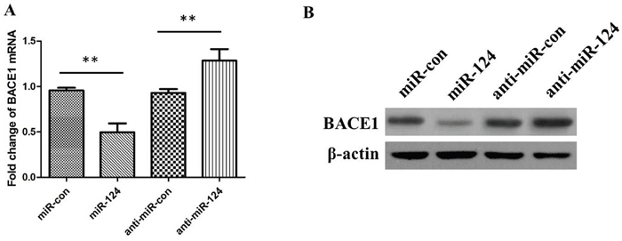 The relative levels of BACE1 mRNA and protein in SH-SY5Y cells transfected with miR-124 mimics, miRNA mimic negative control (miR-con), miR-124 inhibitors (anti-miR-124), or miRNA inhibitor negative control (anti-miR-con).