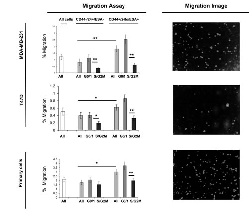 G0/1 Stem-like cells have increased migratory activity.