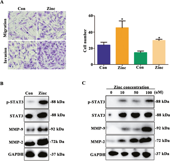 Zinc promotes HTR-8/SVneo cells migration and invasion and increases activity of MMP-2/9.
