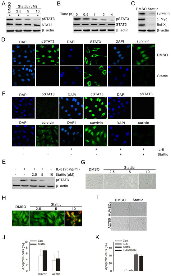 Stattic blocked constitutive and IL-6-induced activation of STAT3 and downstream targets, and suppressed both the growth and survival of prostate cancer cells.