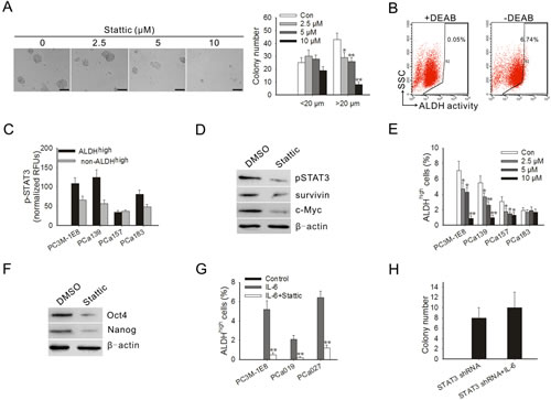 Blocking STAT3 activation inhibited anchorage-independent growth of PC3M-1E8 cells, decreased the proportion of ALDH